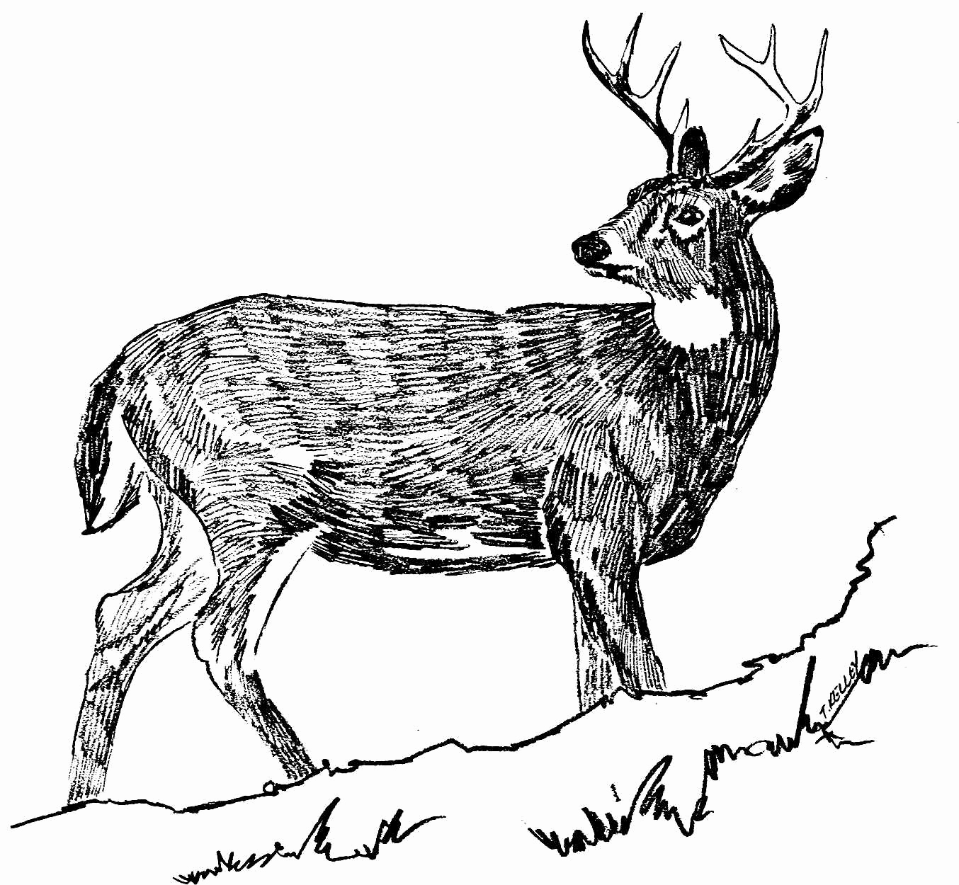 Black and White Illustration Beautiful Free Picture White Tailed Deer Black and White Line