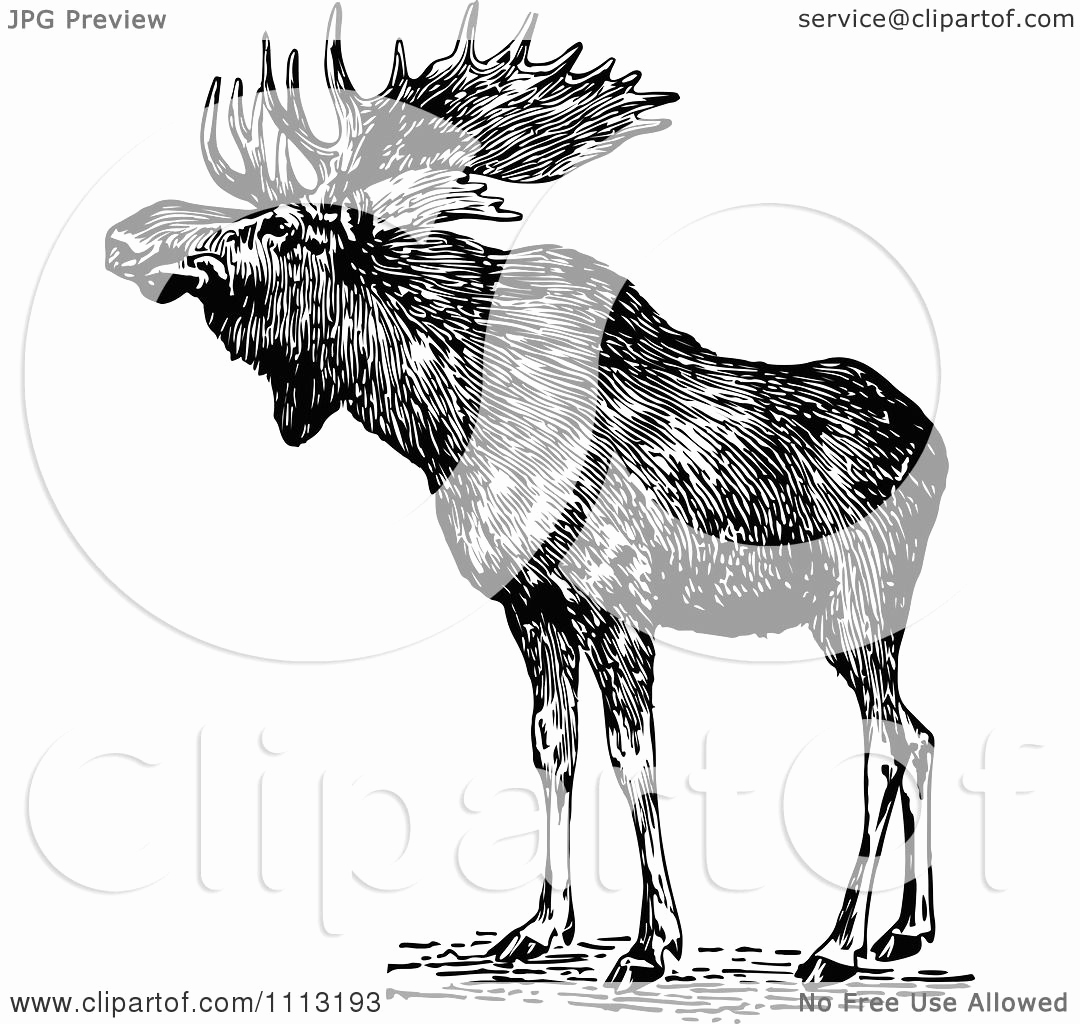Black and White Illustration Fresh Clipart Vintage Black and White Wild Moose Royalty Free