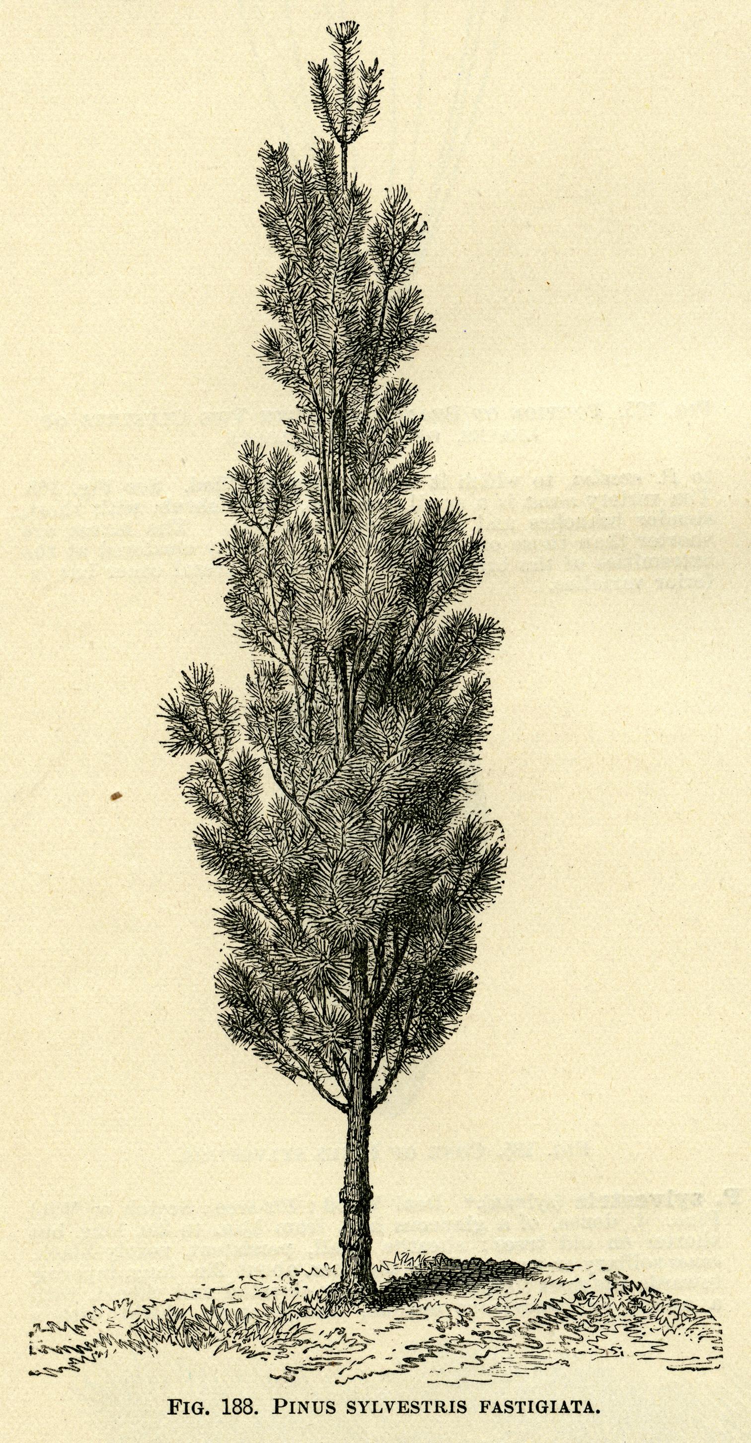 Black and White Illustration Inspirational Black and White Graphics Botanical Pine Tree Illustration