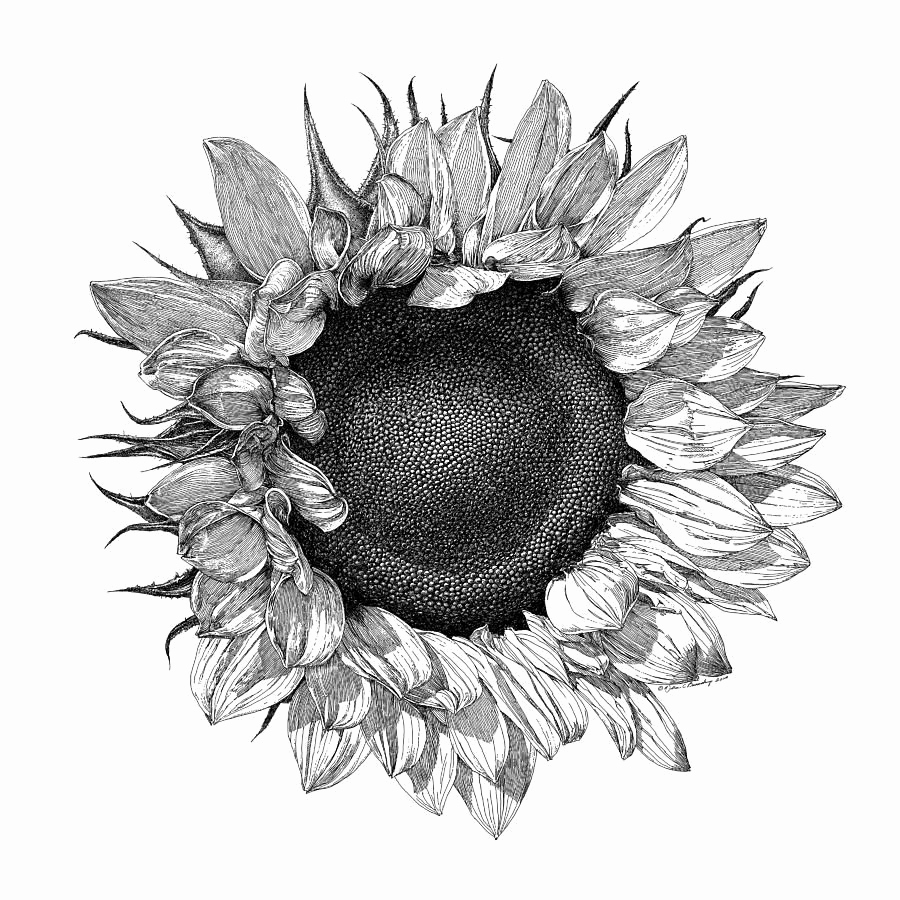 Black and White Illustrations Lovely Black and White Botanical Drawings Sunflower Google