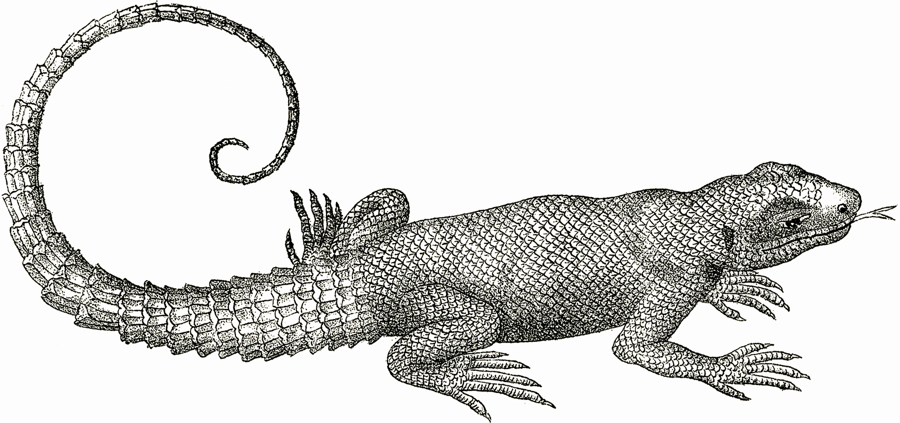 Black and White Illustrations Luxury Free Vintage Lizard Clip Art the Graphics Fairy