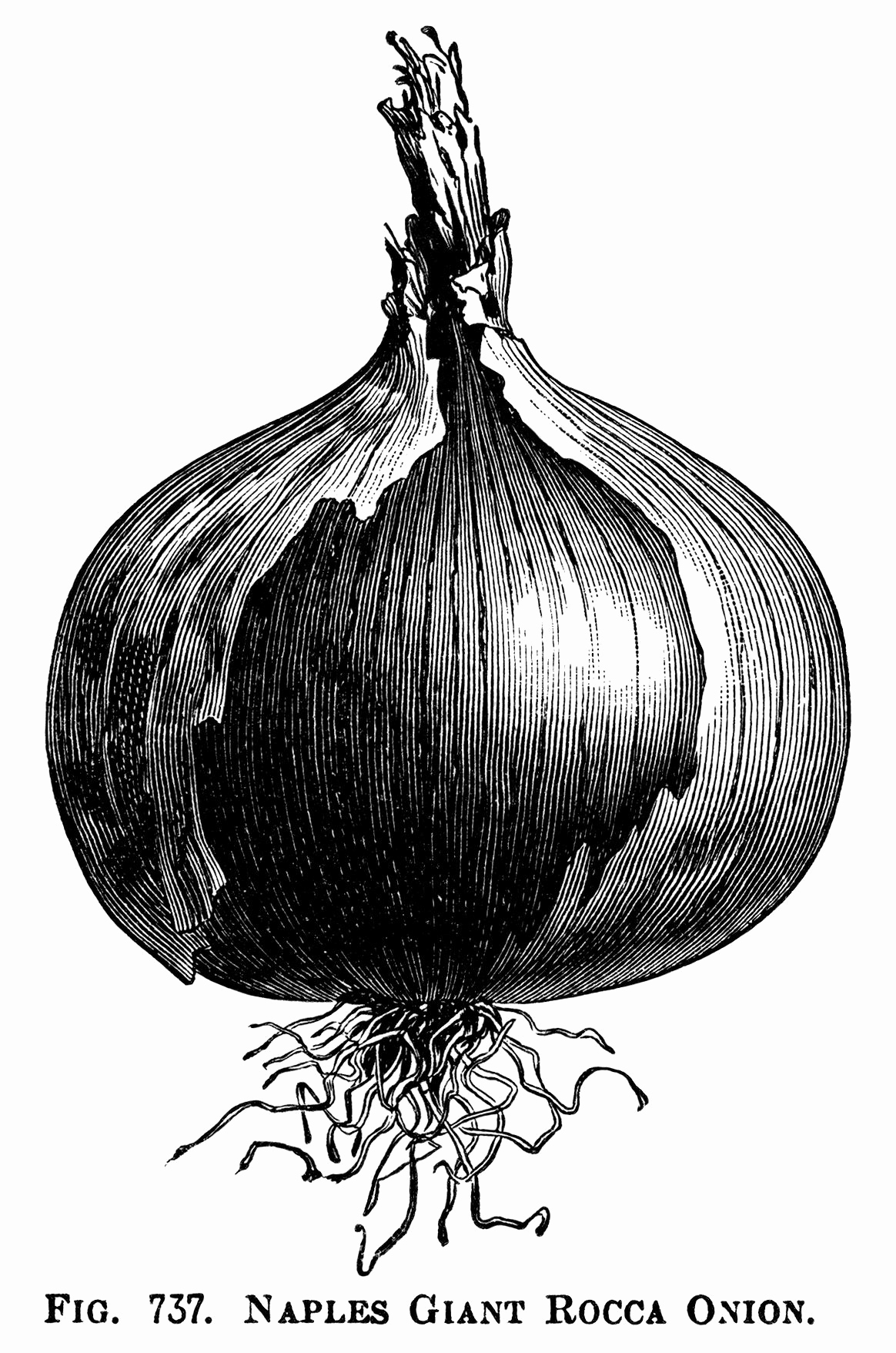 Black and White Illustrations Unique Black and White Clipart Onion Illustration Printable