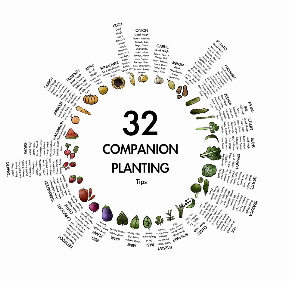 Companion Planting Chart for Vegetables Best Of Panion Planting