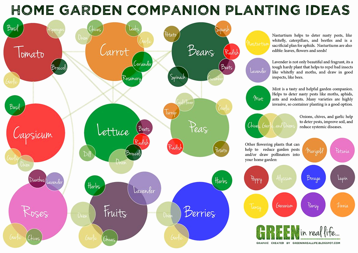 Companion Planting Chart for Vegetables Unique tomatoes Hate Cucumbers Secrets Of Panion Planting