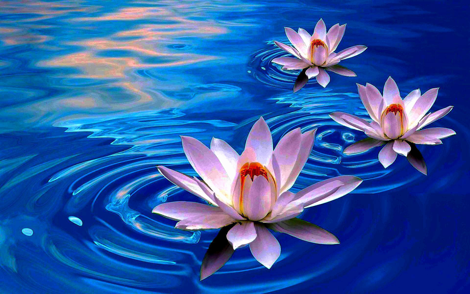 Free Flower Wall Paper Elegant Download Free Lotus Wallpapers