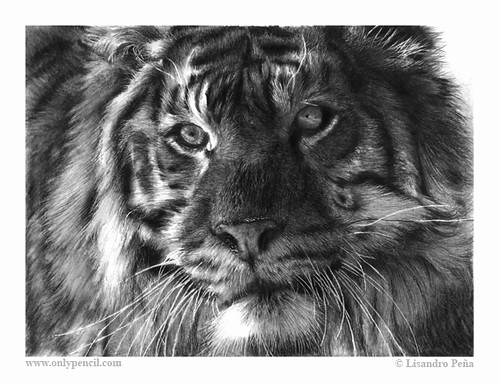 Photos to Pencil Sketches Best Of Siberian Tiger Pencil Drawing